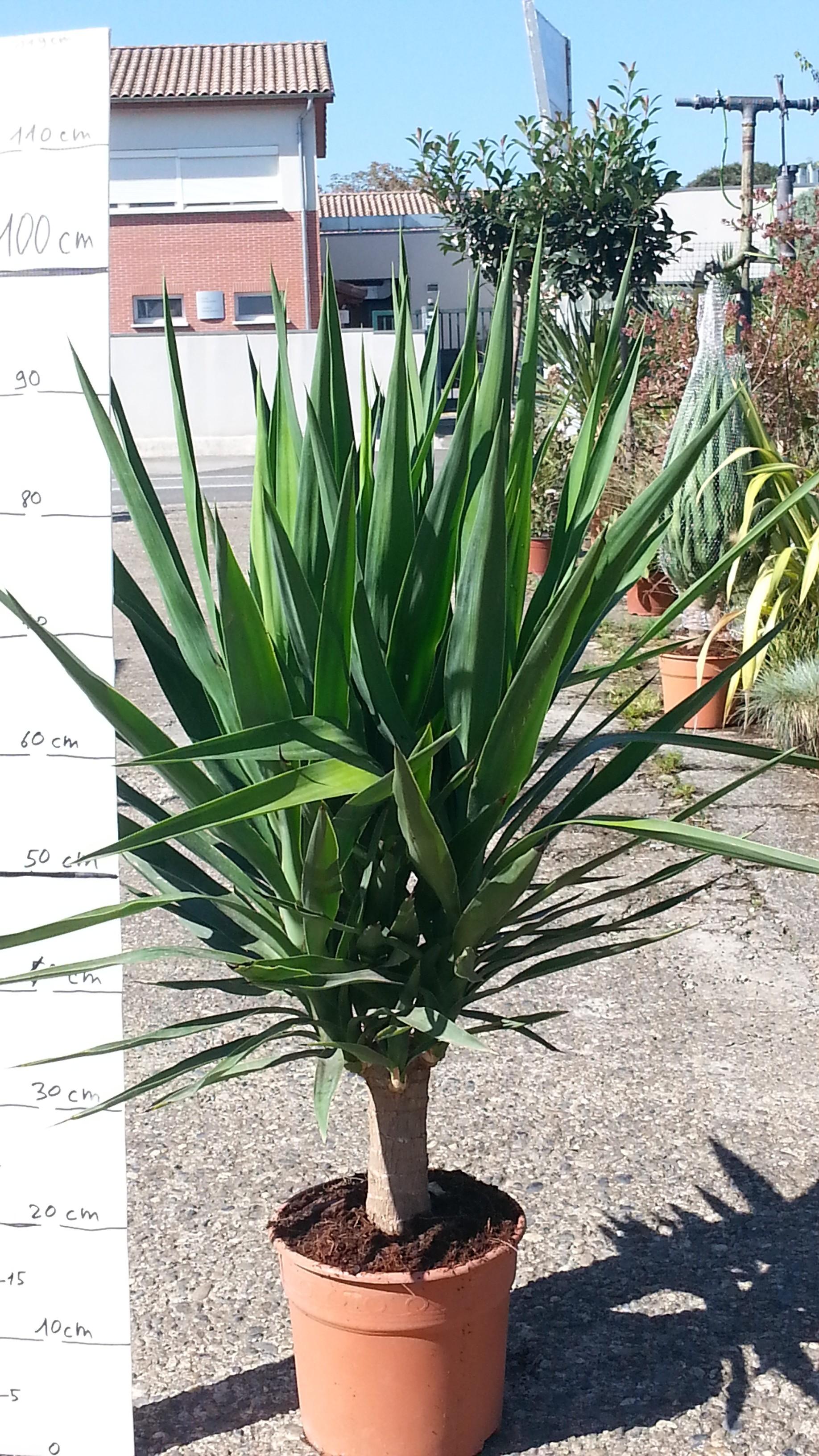 Jardinerie p pini re 31270 villeneuve tolosane jardin for Yucca plante exterieur