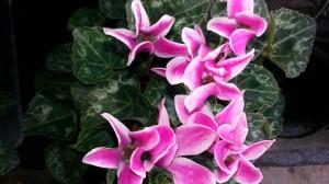 cyclamen rose panaché