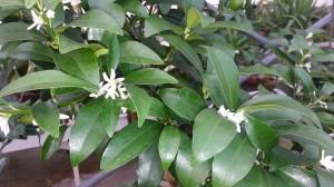 fleurs de kumquat
