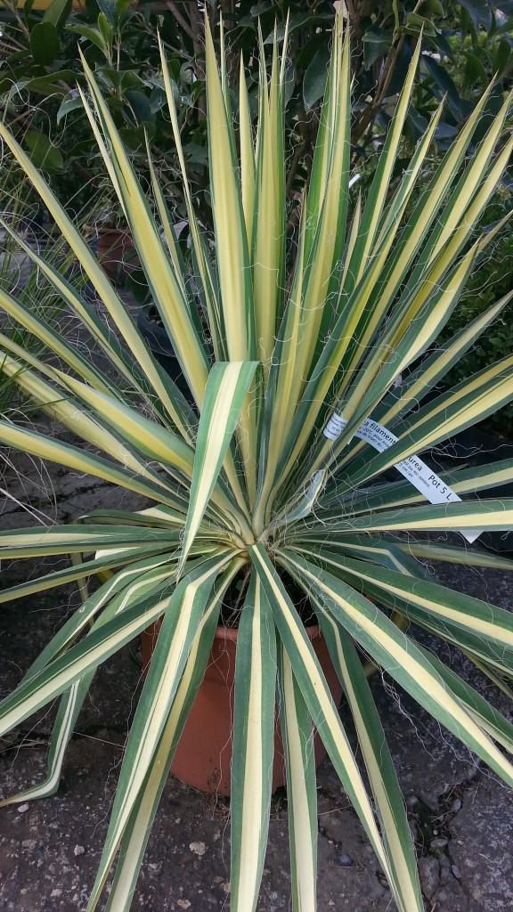 Yucca Filamentosa Aurea