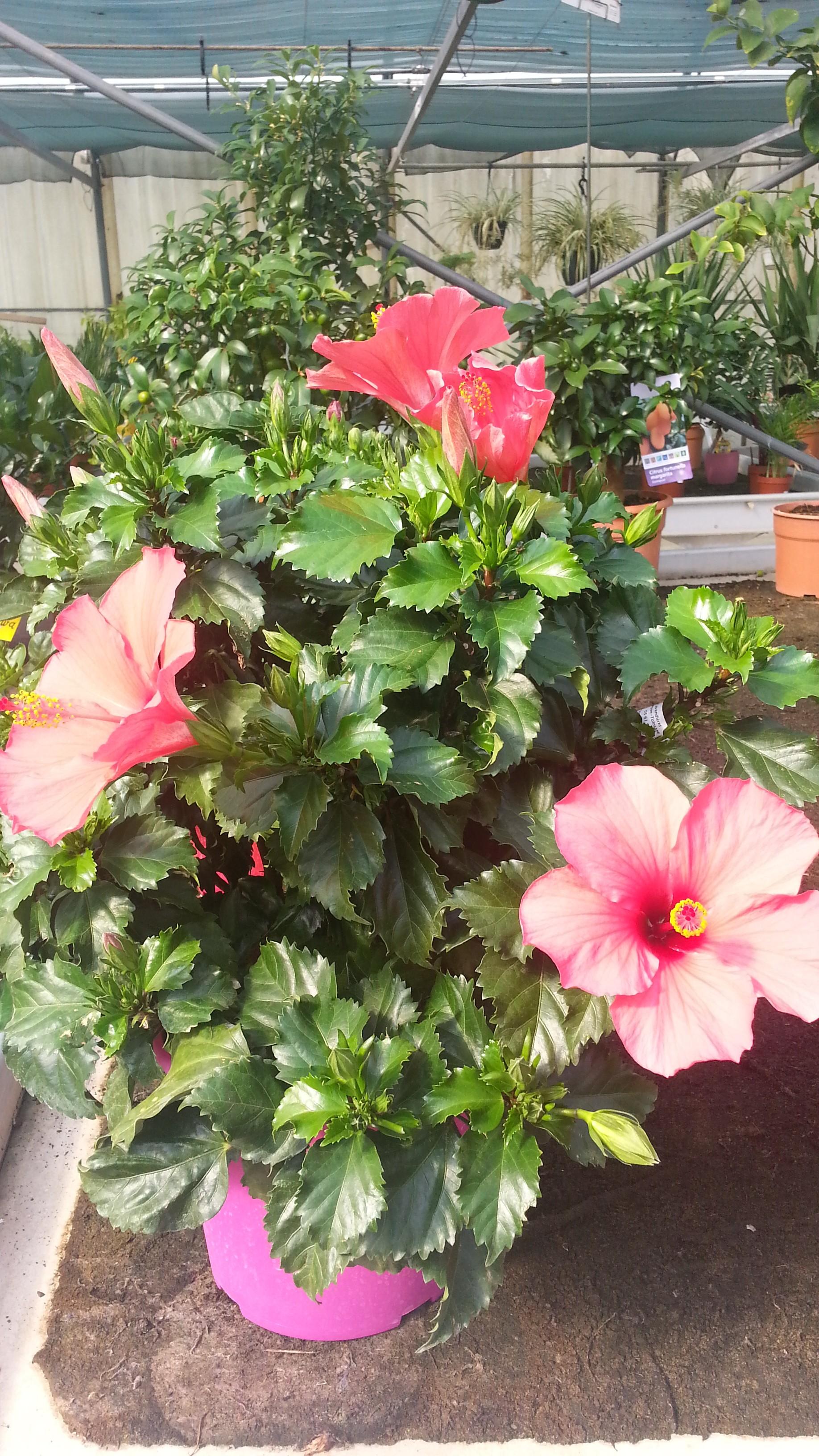 hibiscus de jardin persistant finest mauve en arbre with hibiscus de jardin persistant free. Black Bedroom Furniture Sets. Home Design Ideas