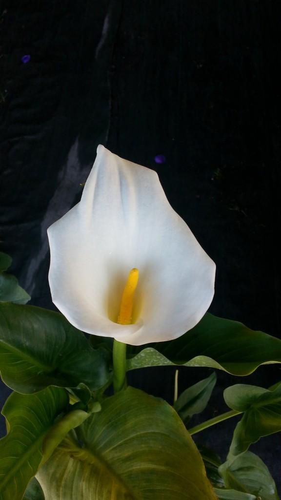 fleur d'arum blanc 2