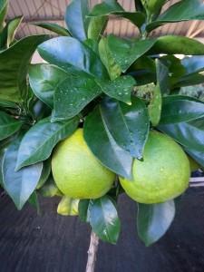 les fruits d'orangers