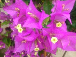 Bougainvillier violet