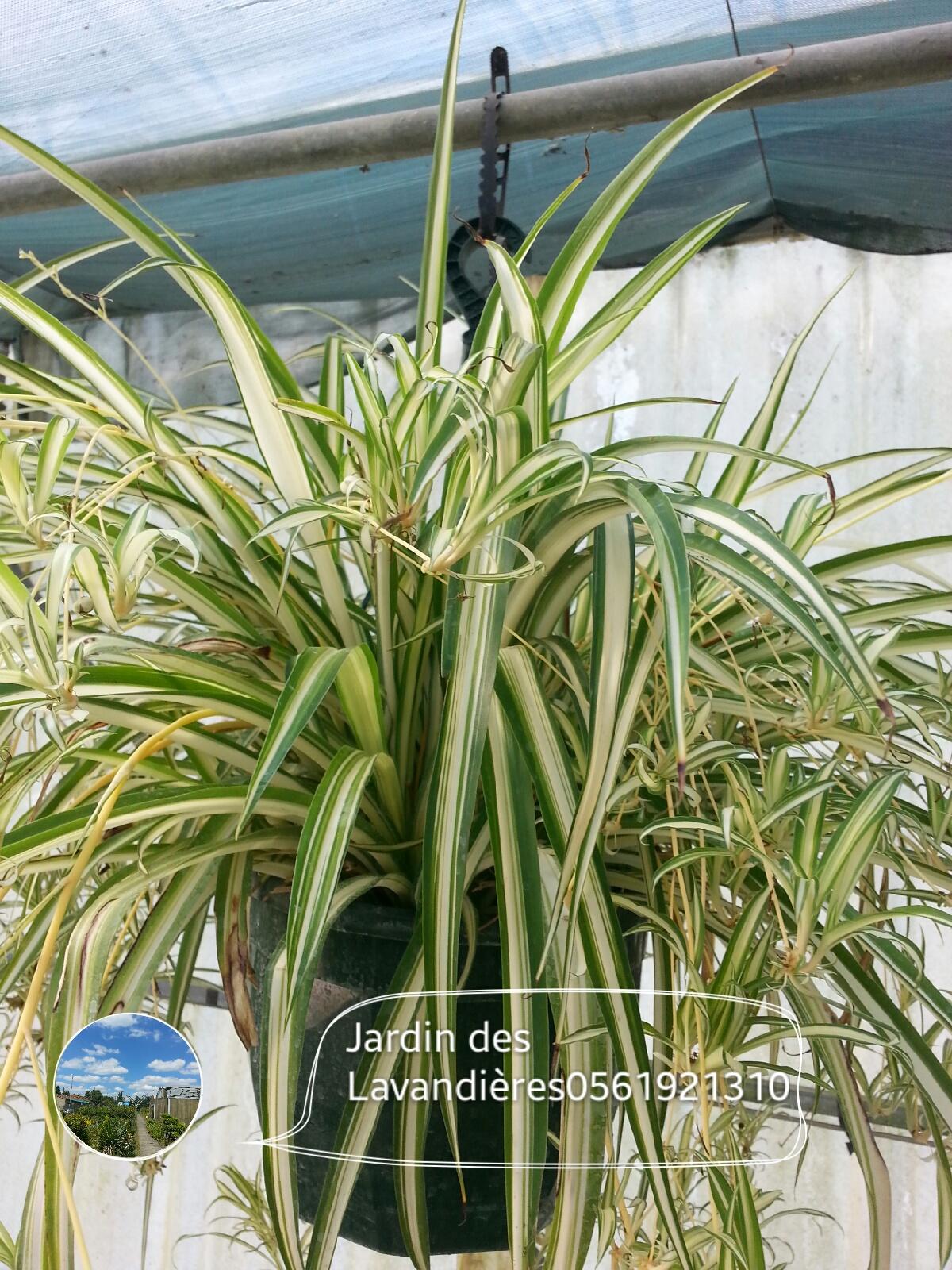 Plantes d int rieurs d polluantes jardinerie p pini re for Plantes interieurs