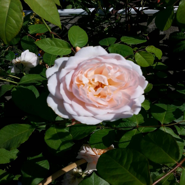 rosiers anglais parfum s 22 jardinerie p pini re 31270 villeneuve tolosane. Black Bedroom Furniture Sets. Home Design Ideas
