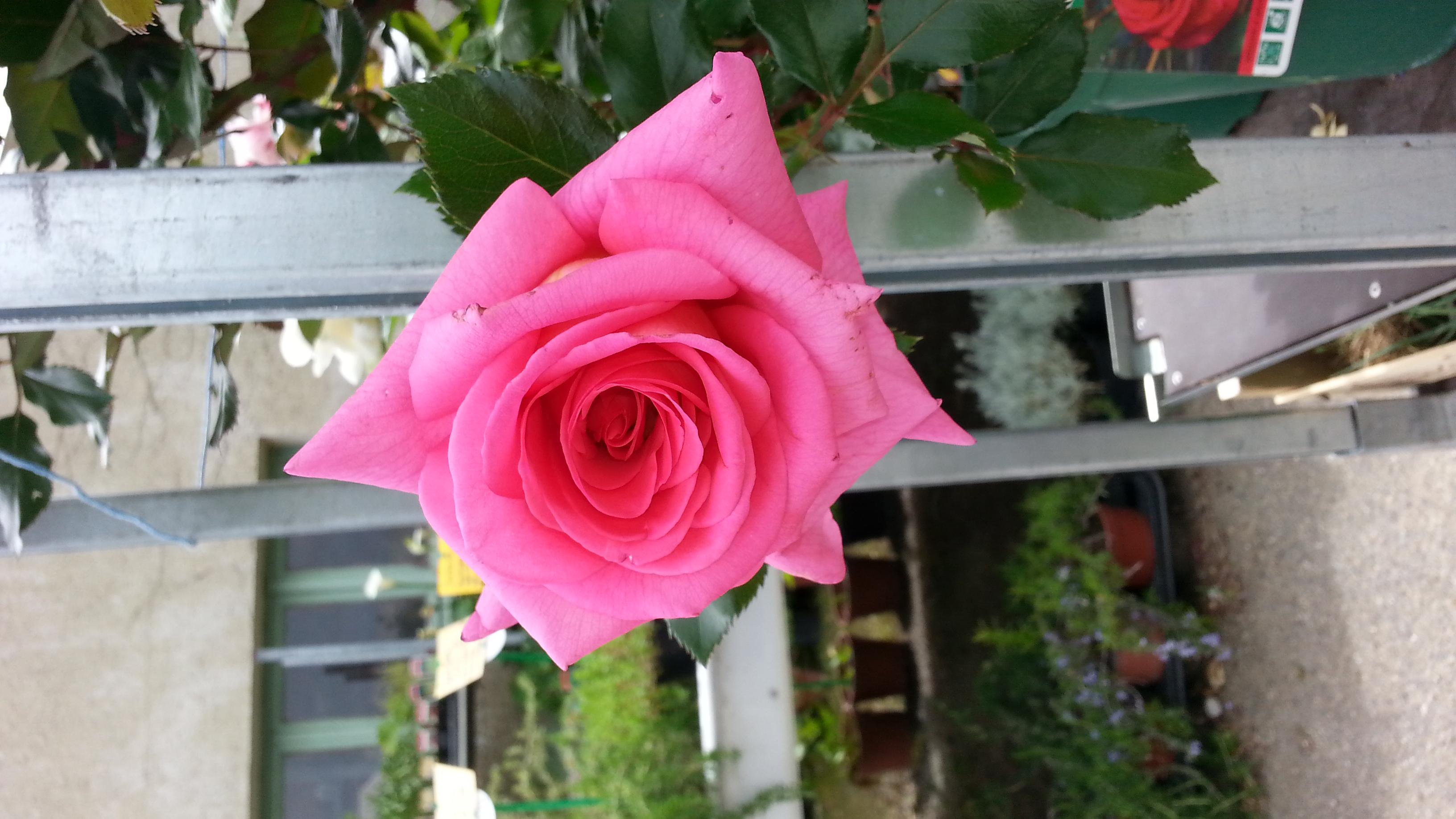 rosier jardinerie p pini re 31270 villeneuve tolosane. Black Bedroom Furniture Sets. Home Design Ideas